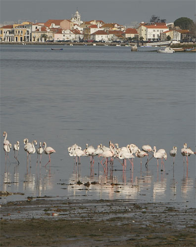 Flamingos no Seixal
